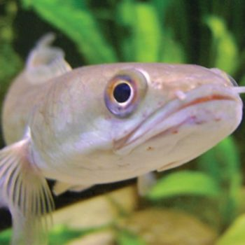 Channa melasoma – w naturze i w akwarium