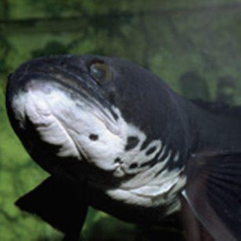 Channa striata – wężogłów