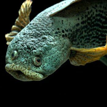 Channa barca – królowa wężogłowów